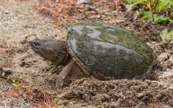 Snapping Turtle. Photo © Fiona Reid
