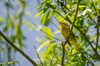 Yellow Warbler © Anne McDermaid