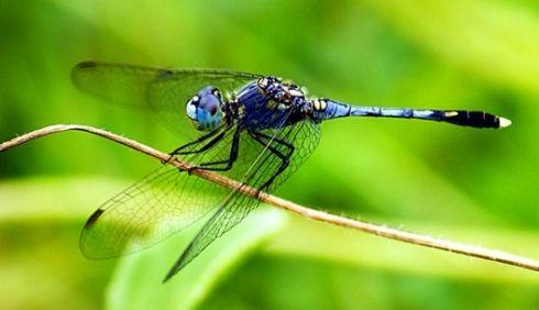 แมลงปอ แมลงนำโชคของชาวญี่ปุ่น