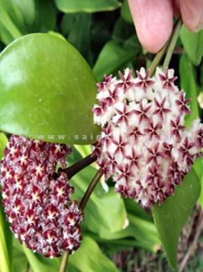 hoa lan cẩm cù treo