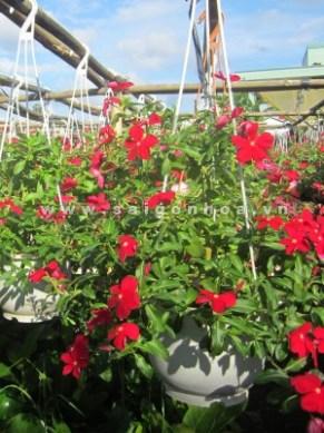 hoa dừa cạn treo