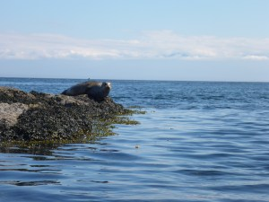A harbor seal uses its ample blubber to rest on what would otherwise be an unbearably uncomfortable rock.