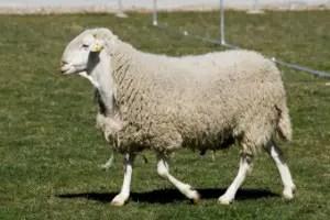 assaf-sheep