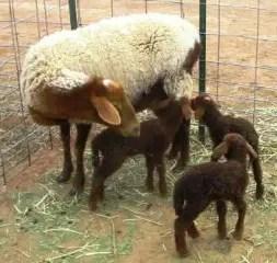 california-red-sheep
