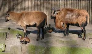 cameroon-sheep
