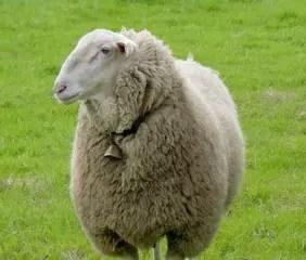 east-friesian-sheep