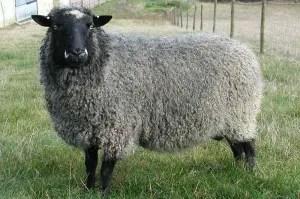 gotland-sheep