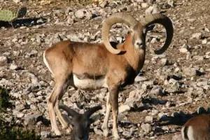 iranian-red-sheep