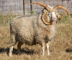 navajo-churro-sheep
