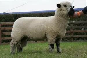 oxford-sheep