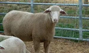 rambouillet-sheep