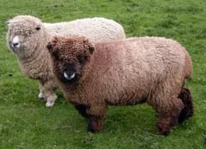 ryeland-sheep