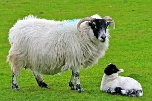 scottish-blackface-sheep
