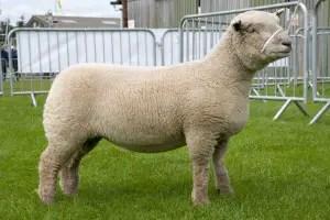 southdown-sheep