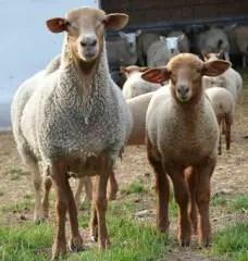 tunis-sheep