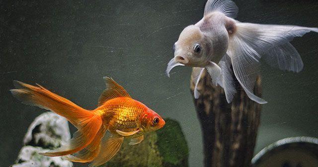 Razones por las que se mueren los peces del acuario