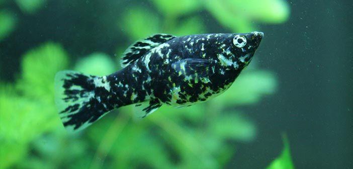 Cómo diferenciar mollys machos y hembras