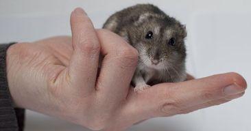 Beneficios de tener un hamster como mascota