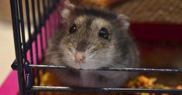 Cómo evitar que el hamster muerda su jaula