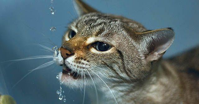 Por-qué-a-los-gatos-no-les-gusta-el-agua