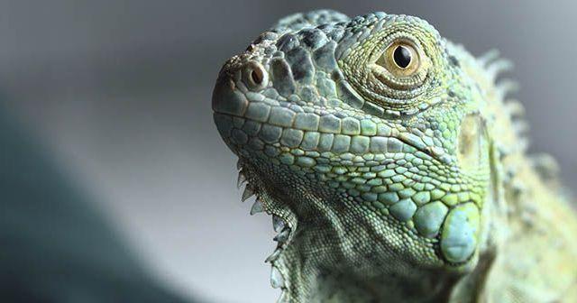Cuantons-años-puede-vivir-una-iguana