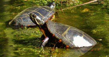 Cómo cuidar una tortuga pintada