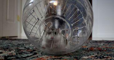 ¿Qué tipo de juguetes le gustan a los hamster?