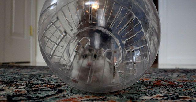 que-tipo-de-juguetes-le-gustan-a-los-hamster-hobby-mascotas