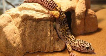 ¿Qué sustrato debo utilizar para un gecko leopardo?