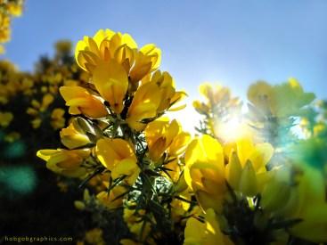 gorse zennor rays light beautiful spring cornwall penwith