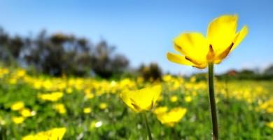 nancledra yellow flowers field sunny sunshine