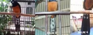 Murai Balak 4 6 8