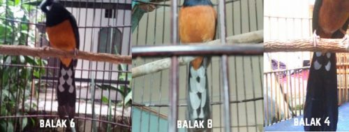 100+ Gambar Gambar Burung Murai Balak 8 Terlihat Keren