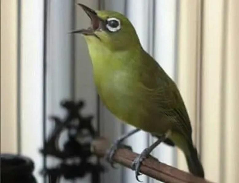 Download Suara Pleci Gacor Lengkap. Burung Pleci Buka Paruh bf52490f23