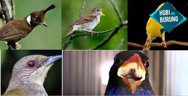 Suara Burung Masteran