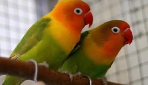 Kampung lovebird