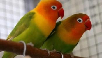Download Gambar Logo Burung Lovebird
