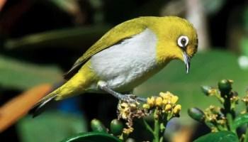 Daftar Harga Burung Pleci Lengkap Dan Terbaru  95a816d124