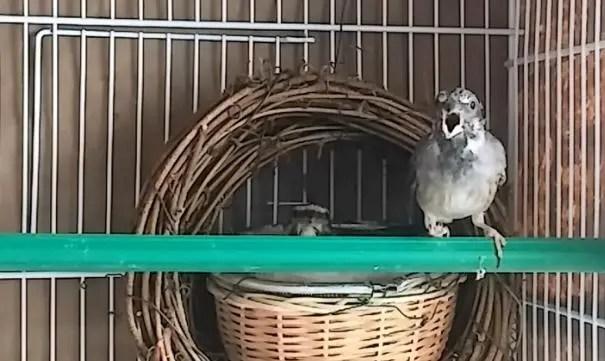 Burung Blackthorat jantan
