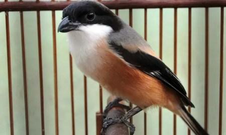 Burung Cendet Jantan