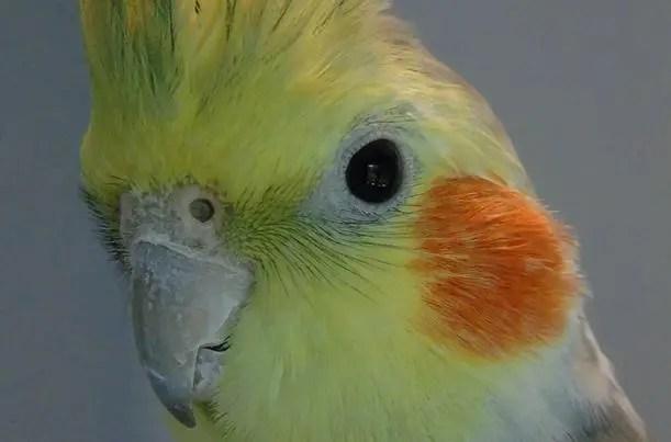Seputar Burung Parkit Australi Ciri Fisik Harga Dan Suara