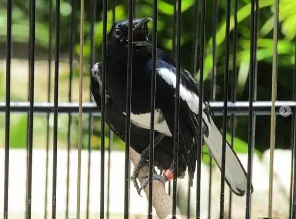 Gambar Burung Kacer Gacor