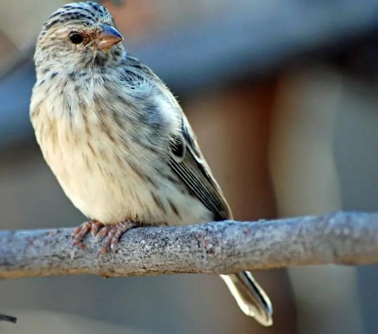 Gambar Burung Blackthroat