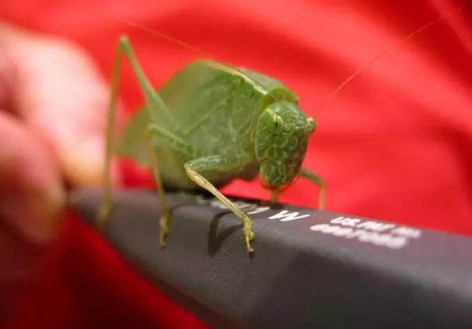 Gambar belalang kecek