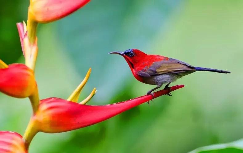 Gambar kolibri sepah raja