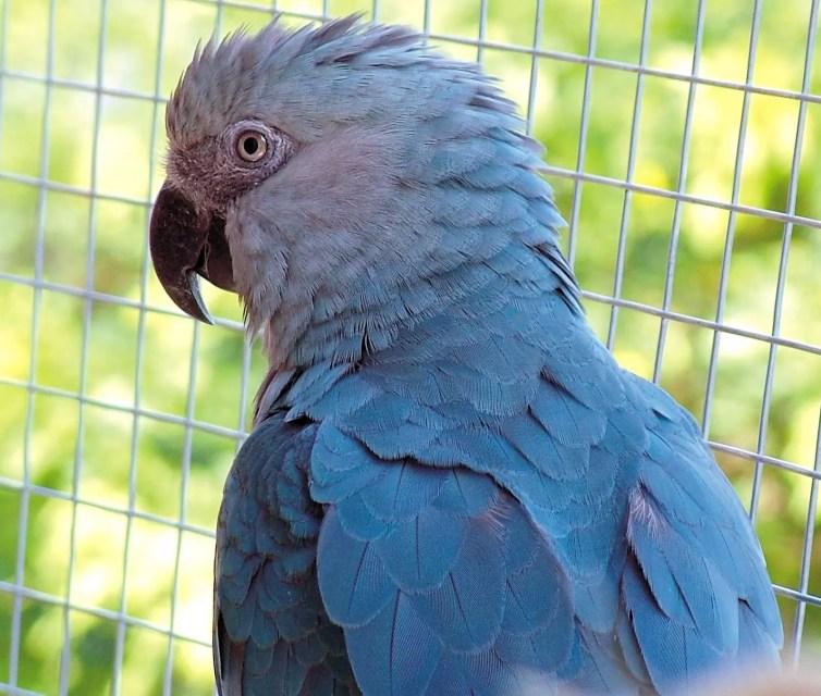 spix macaw brazil