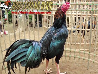 inilah-ayam-aduan-asli-indonesia-yang-melegenda