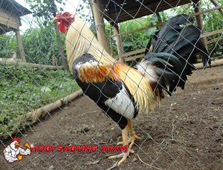 Jenis Jenis Dan Bentuk Dari Ayam Aduan Betet Bali