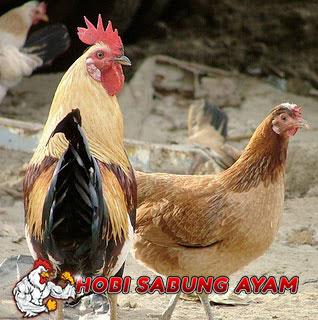 Kenali ciri ayam