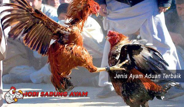 ayam aduan yang terbaik - sabung ayam online